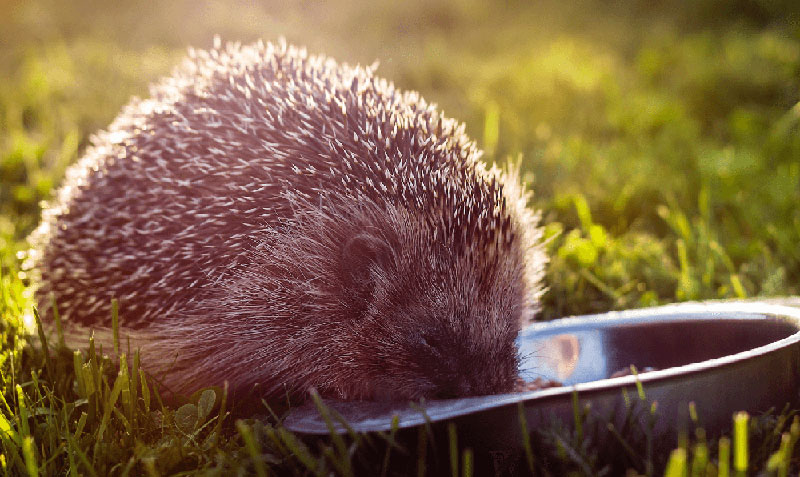 Hedgehog eating from bowl