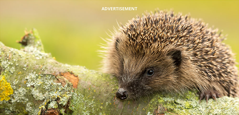 Hedgehog in the woodland