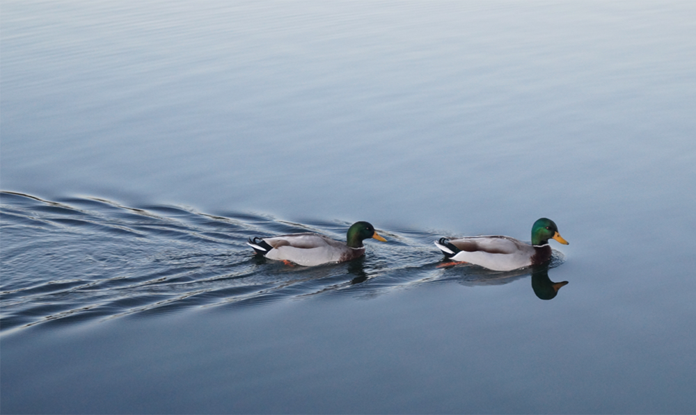 Two ducks paddling