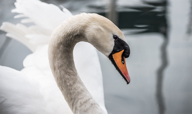 Close-up of swan