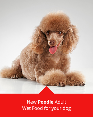 Poodles and ROYAL CANIN