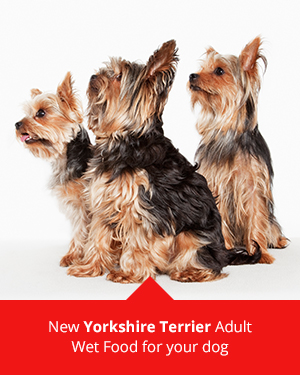 Yorkshire Terriers and ROYAL CANIN