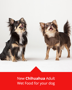 Chihuahuas and ROYAL CANIN